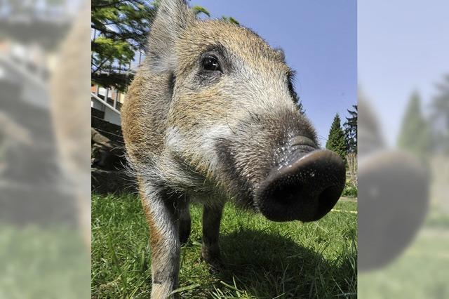 Wildschweine immer noch verstrahlt