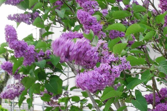 Ob weiß oder violett: In der Rue des Lilas blüht auch jetzt der Flieder