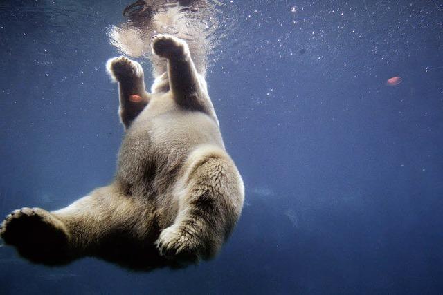 Eine Kugel für den Gast - wieder Eisbär auf Island erschossen