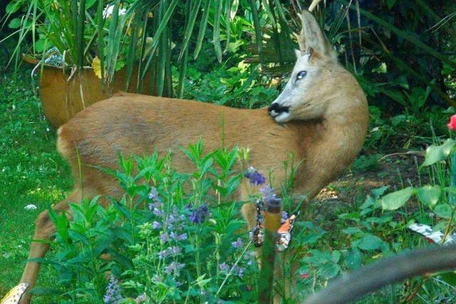 Rehbock im Garten – was tun?