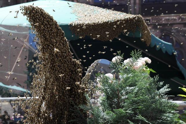 2500 Bienen bevölkern Münsterplatz