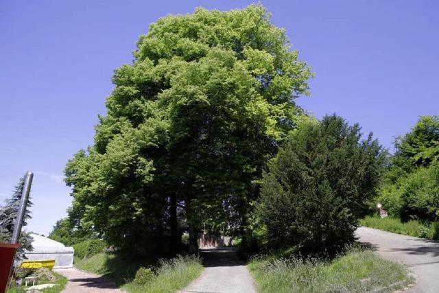 Linden sollen geschützt werden