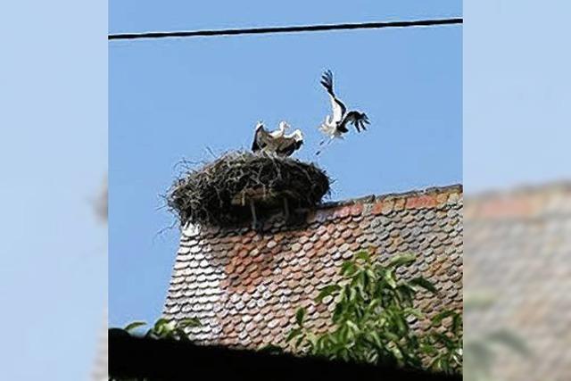 Nauwerck: Storch war wohl gestört