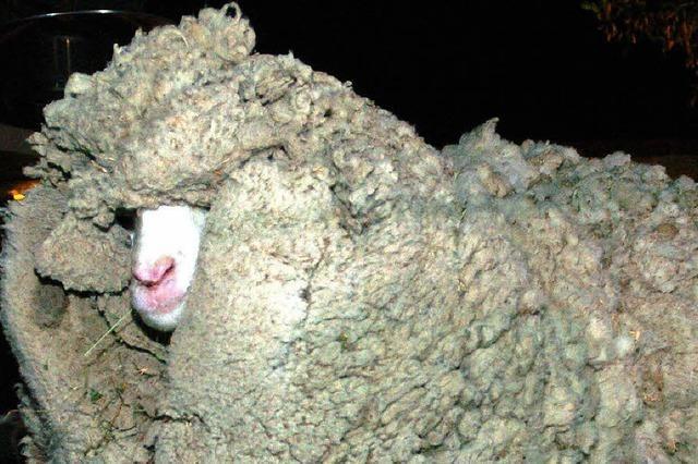 Schaf Shrek ist tot