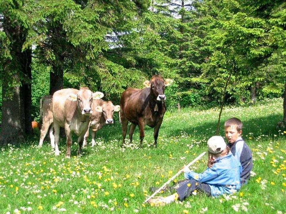 Idylle pur: Auf einer Weide bei der St. Wilhelmer Hütte auf dem Feldberg    Foto: Privat