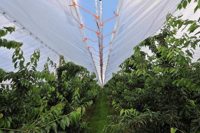 Darum überdachen Obstbauern ihre Kirschbäume