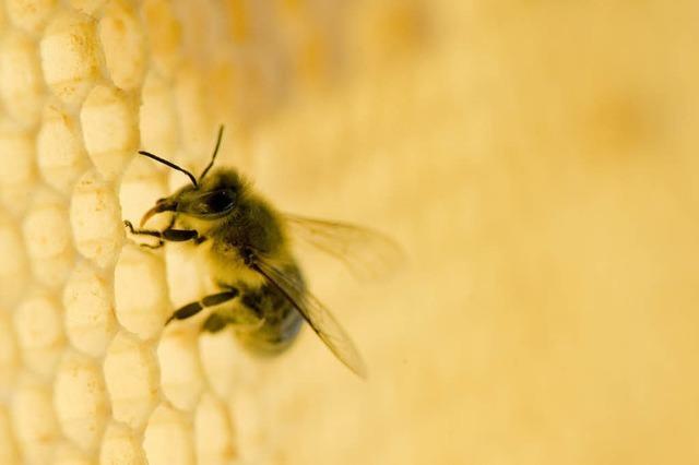 Bienen verschlafen den Frühling