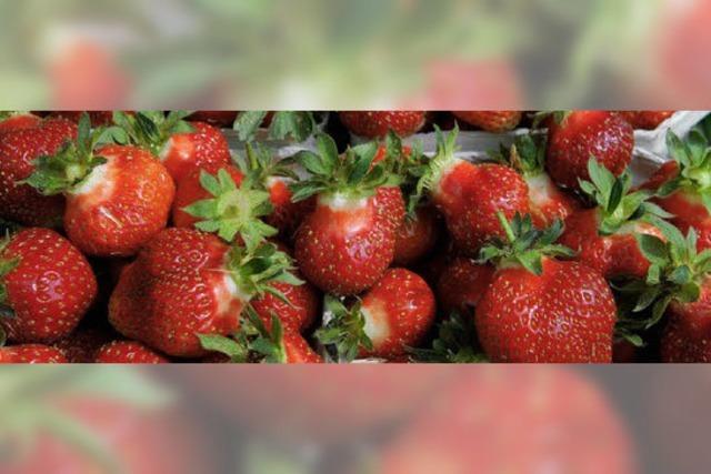 Erdbeersaison: Körbeweise süße Früchtchen