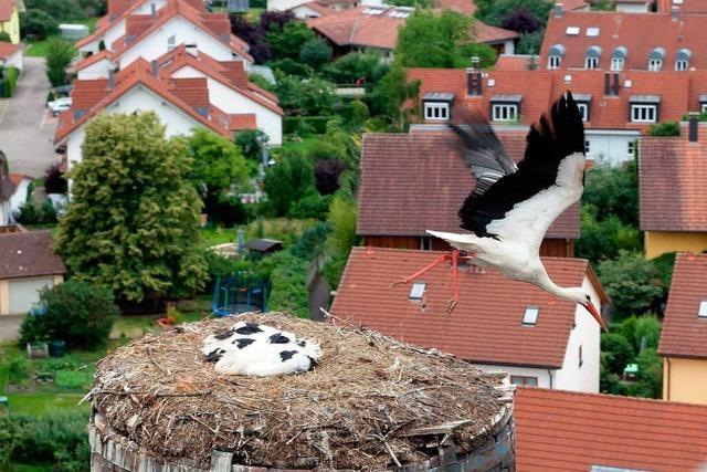 Vater Storch stammt aus dem Elsass