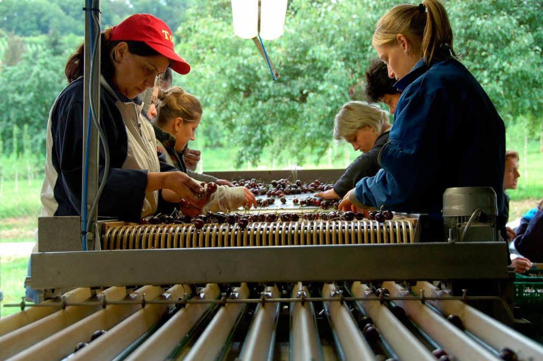 Kirschensortieranlage made im Markgräflerland  | Foto: sigrid umiger