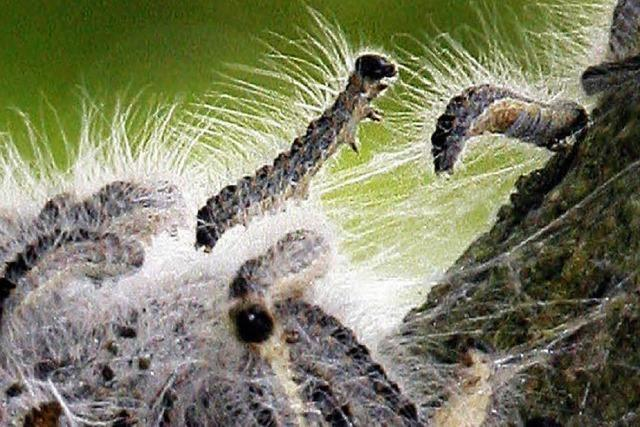 Raupen werden mit Hochdruck bekämpft