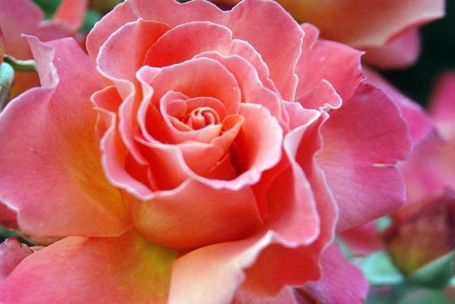 Ein Fest im Namen der Rose