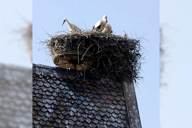 In jedem Nest wurde mindestens ein Storch groß