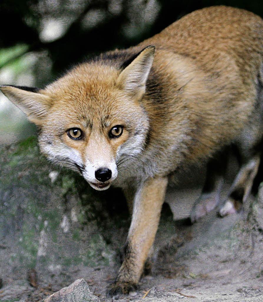 Der Fuchs Geht Um Text