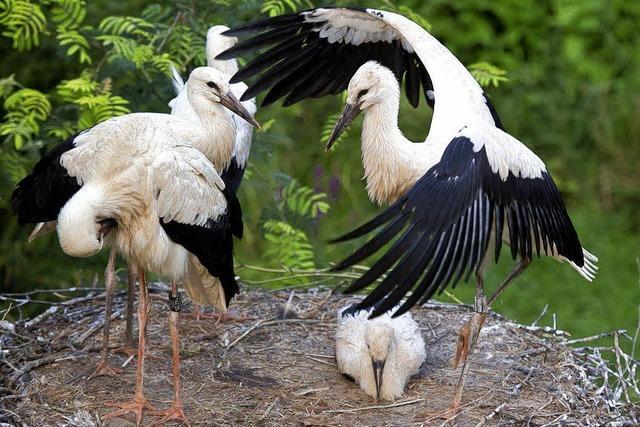 Der Storch