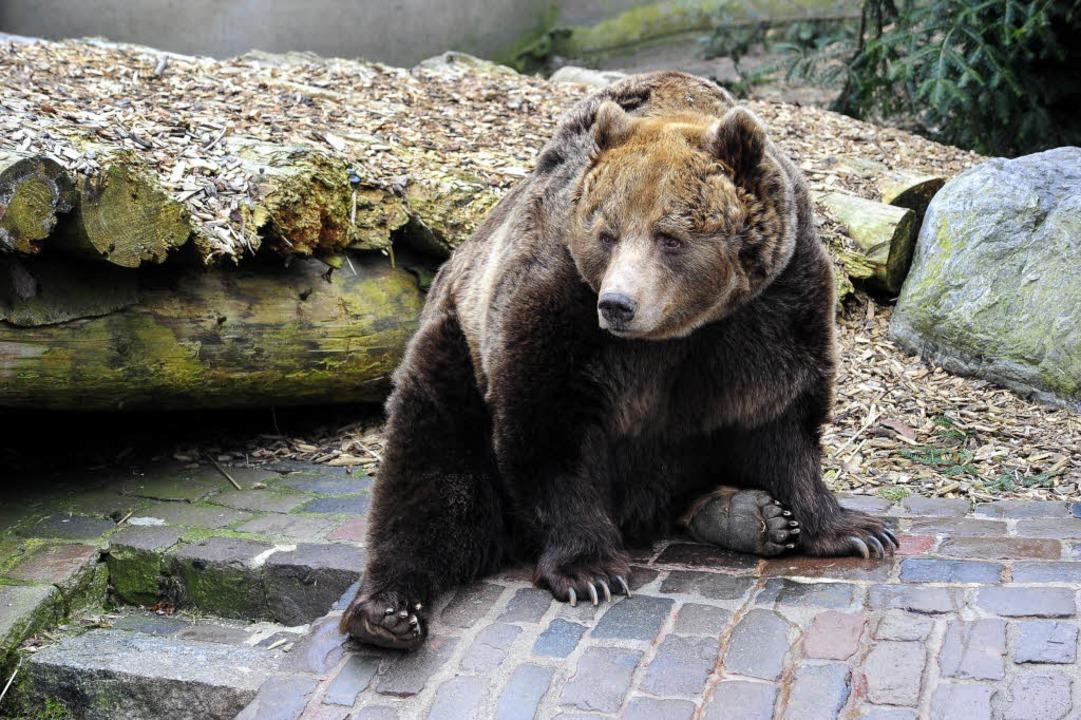 Braunbär Janosch, der seit 1985 auf de...g lebte, musste eingeschläfert werden.  | Foto: Thomas Kunz