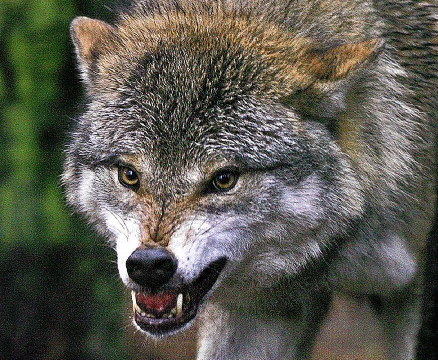 Jägern ein Feind,  Schäfern ein Graus, Wildhütern eine Freude: der Wolf    Foto: dpa