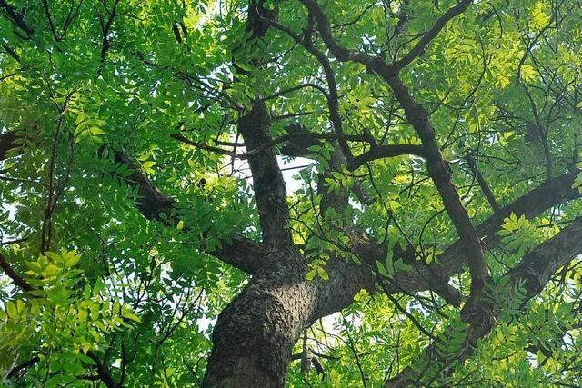 Kampf gegen den Pilzbefall bei Bäumen