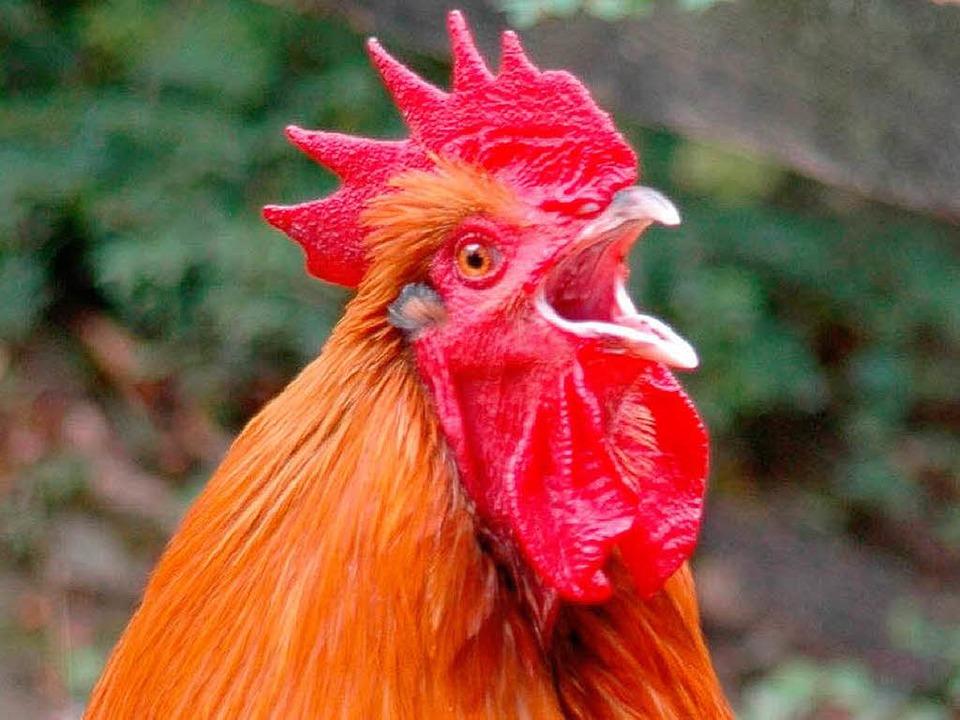 Das Krähen eines Hahns ist eine natürl... deutscher Gesetzeslage dennoch nicht.  | Foto: Michael Reich