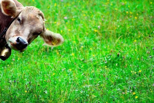 Angriff auf Urlauber: Wenn die Kuh zur Attacke bläst