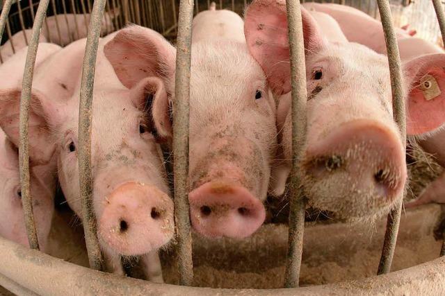 Riesensauerei? Bürgerinitiative kämpft gegen Schweinemast