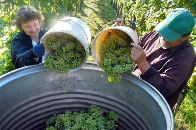 Weinlese: Ruländer und Müller-Thurgau zum Auftakt