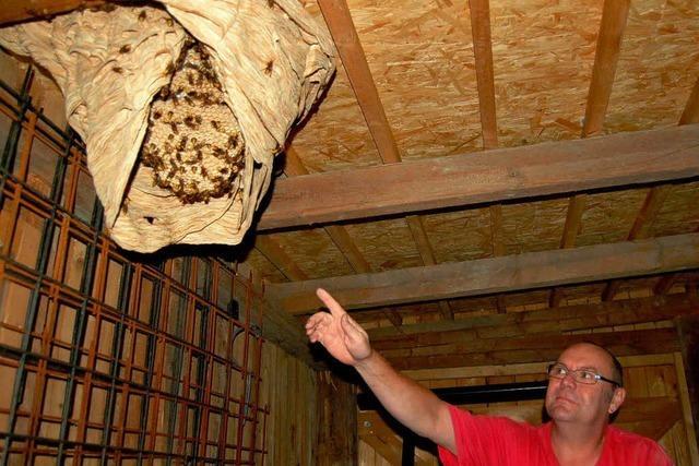 Hornissen bauen Riesennest im Ziegenstall