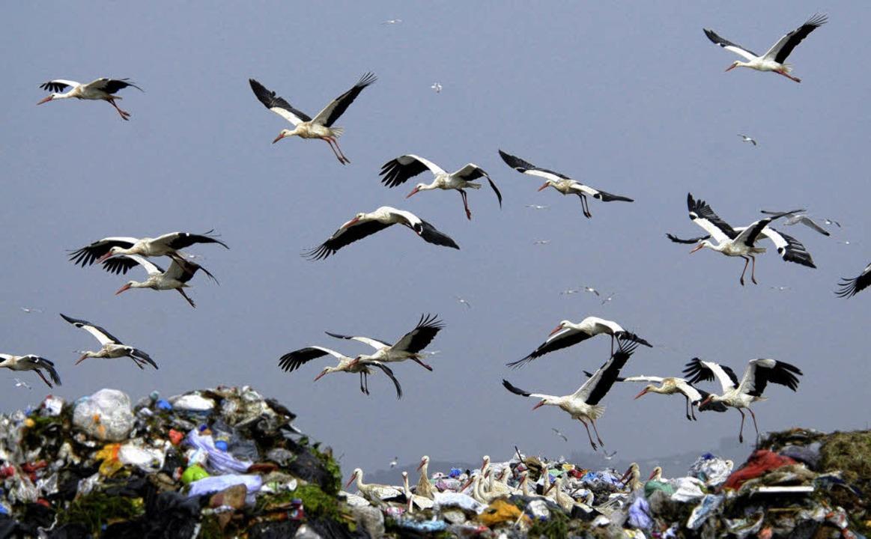 Viele Storche ziehen im Winter nicht m...ka, sonder auf spanische Mülldeponien.  | Foto: Zoo Basel