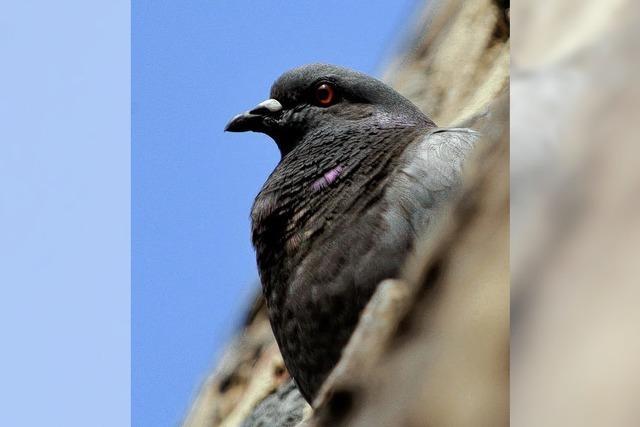 Wann darf man Tauben töten?