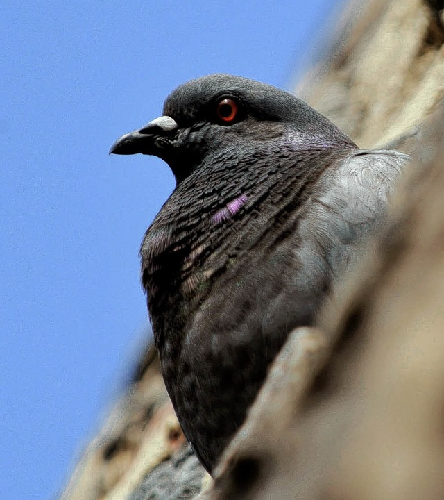 Symboltier, das in den Städten für Ärger sorgt: die Taube  | Foto: dpa