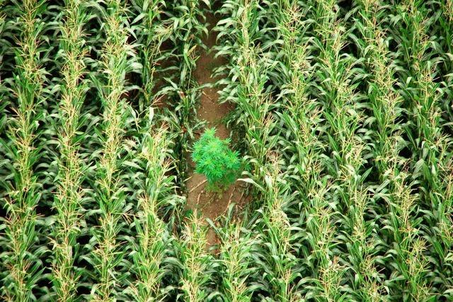 So findet die Polizei Hanfpflanzen in Maisfeldern