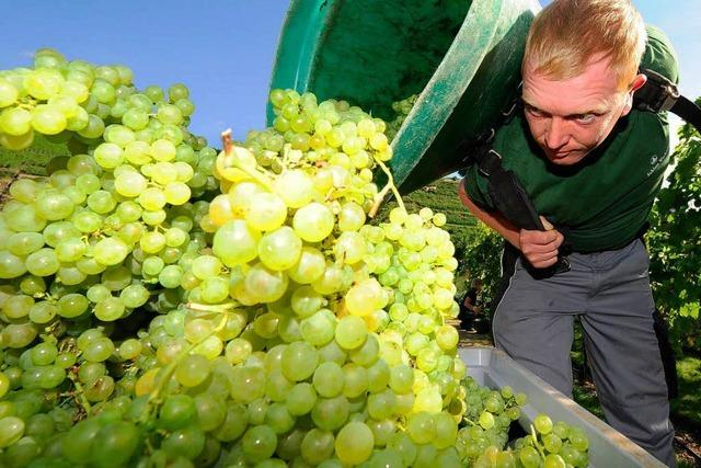 Baden erwartet große Weinernte