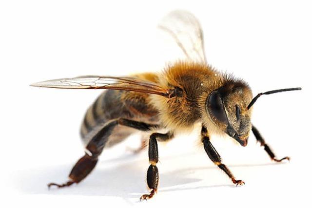 Der hartnäckige Honigrebell