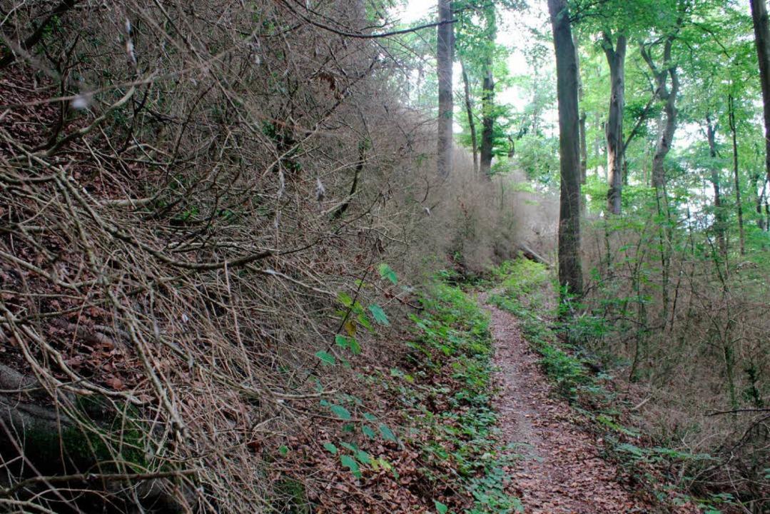 Der Buchswald bei Grenzach-Wyhlen ist abgestorben.   | Foto: Kutzim