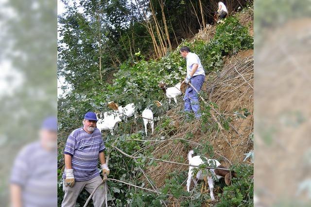 Ziegen am Kapellenberg
