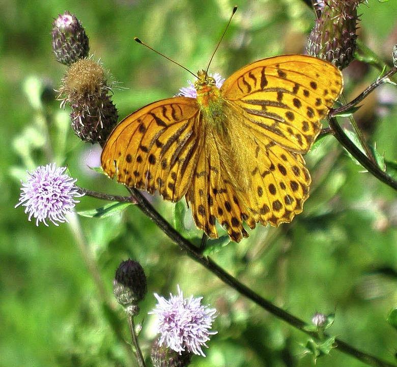 Schmetterlingsvielfalt im Geschützten ...l: Kaisermantel und Schwalbenschwanz.     Foto: Manfred-G. Haderer