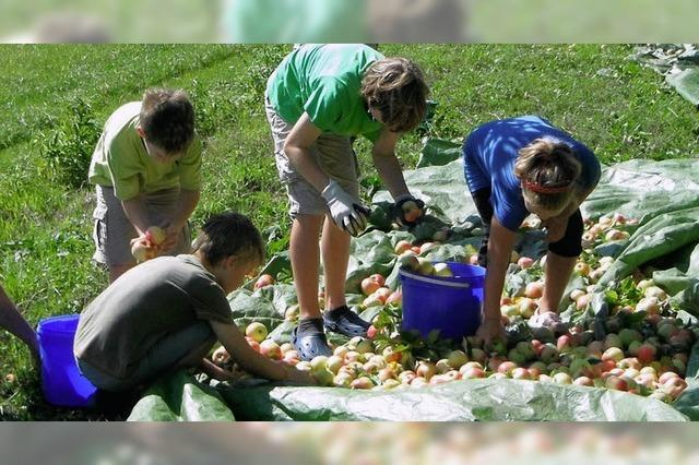 Kolpingfamilie erntet Äpfel