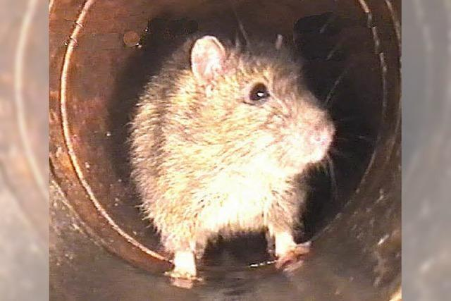 Rattenpopulation profitiert vom warmen Frühling