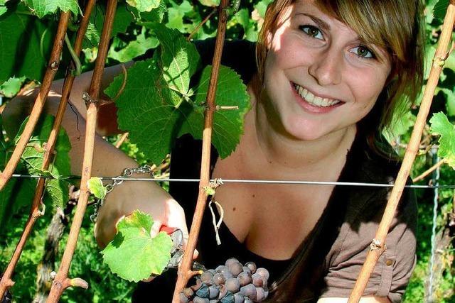 Weinlese am Kaiserstuhl: Ein außergewöhnlich guter Herbst