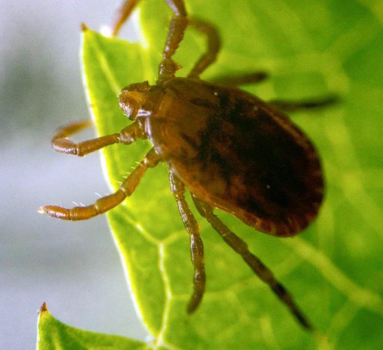 Gefährlich: Infizierte Zecken.  | Foto: dpa