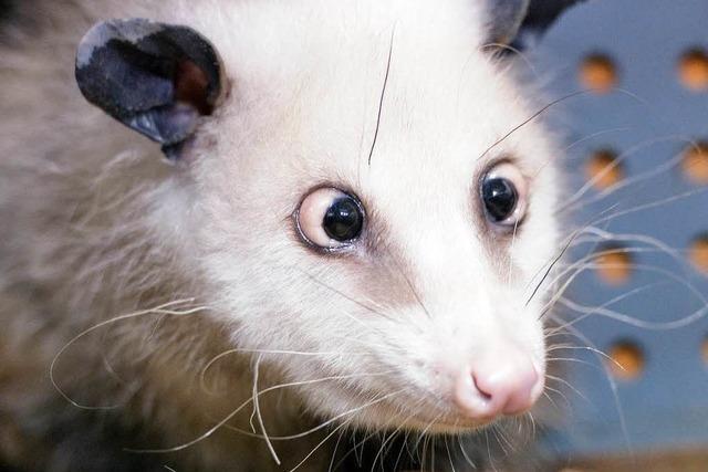 Altersschwäche: Das schielende Opossum Heidi ist tot