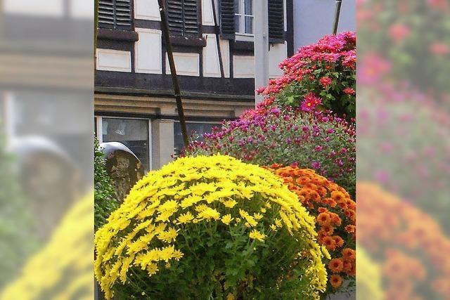 Wie wird die Chrysanthema aufgebaut?