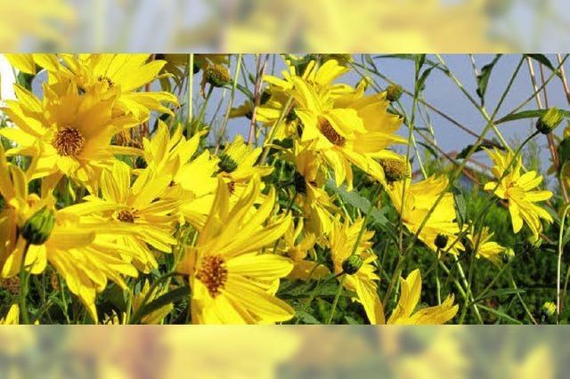 Goldgelbe Blütenpracht