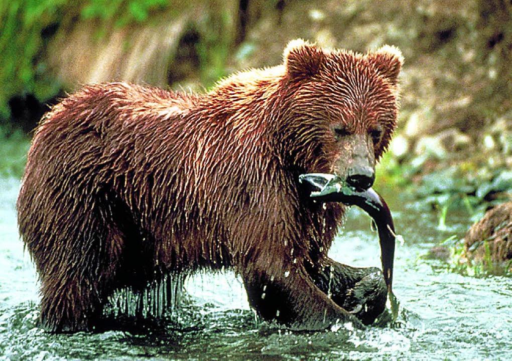 Ein Grizzly auf Fischzug  | Foto: dpa