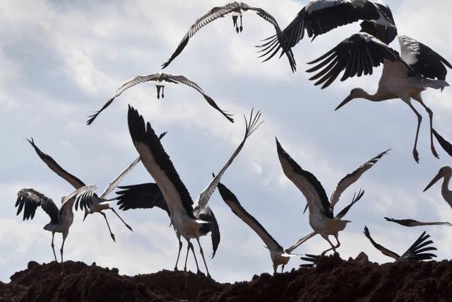 Urlaubsziel Müllkippe: Störche auf spanischen Abfallbergen