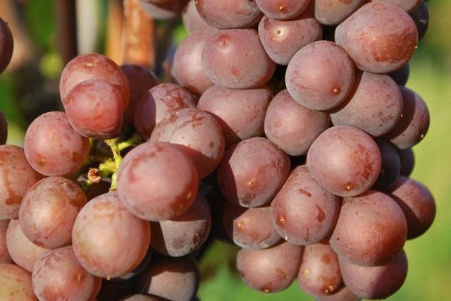 Winzer sind vom Weinjahrgang 2011 begeistert