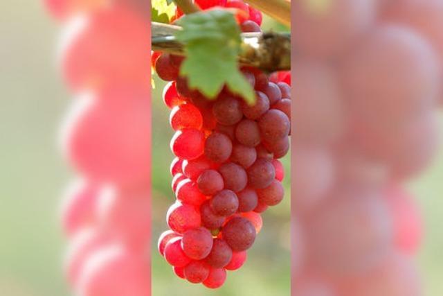 Biowinzer sind mit Ernte zufrieden