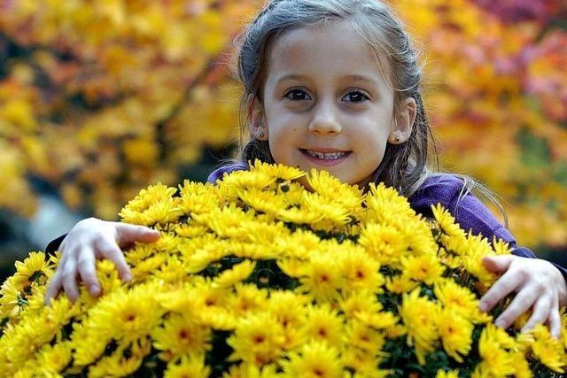Die Chrysanthema beginnt