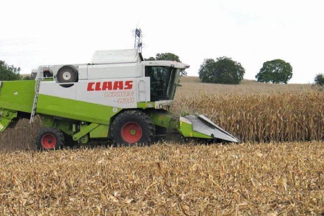 Mais macht dem Winterweizen Platz