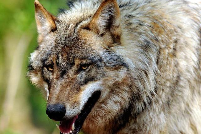 Immer mehr Wölfe in Deutschland